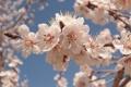 Картинка Цветы, весна, абрикоса