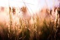 Картинка трава, солнце, колоски, обои, растения, природа, свет