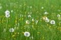 Картинка поле, трава, цветы, одуванчики