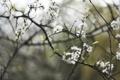 Картинка макро, деревья, цветы, ветки, природа, вишня, весна