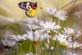 Картинка цветы, бабочка, ромашки, butterfly, flowers, chamomile