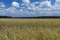 Картинка злаки, поле, деревья