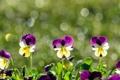 Картинка цветы, анютины глазки, виола