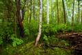 Картинка березы, лес, ветки, трава, деревья, кусты, зелень