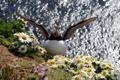 Картинка природа, птица, Puffin
