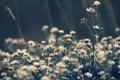Картинка клевер, трава, природа, растения, цвет, макро, цветы
