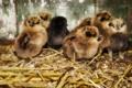 Картинка природа, фон, цыплята