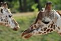 Картинка зелень, морда, день, пара, жирафы, саванна