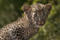 Картинка детёныш, малыш, леопард, котёнок