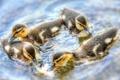 Картинка вода, утята, птенцы, хоровод