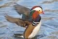 Картинка птица, крылья, купание, профиль, утка, Мандаринка