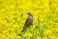 Картинка лето, трава, природа, птица, цветение, бюль бюль