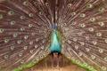 Картинка bird, Peacock, serlunar