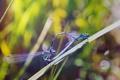Картинка макро, насекомые, стрекоза