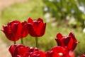 Картинка лето, макро, цветы, красный, природа, растение, тюльпаны