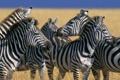 Картинка день, савана, зебри