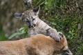 Картинка кошка, игра, детёныш, котёнок, пума, горный лев, кугуар
