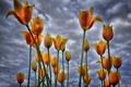 Картинка небо, облака, цветы, тюльпаны