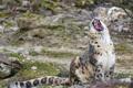 Картинка кошка, пасть, ирбис, снежный барс, зевает, ©Tambako The Jaguar