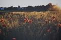 Картинка поле, маки, красные