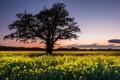 Картинка поле, пейзаж, дерево, рапс