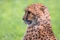 Картинка cheetah, хищник, взгляд, гепард