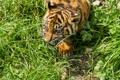 Картинка кошка, трава, детёныш, котёнок, тигрёнок