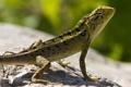 Картинка камень, чешуя, ящерица, зеленая, рептилия