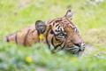 Картинка дикая кошка, морда, тигр, усы