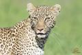 Картинка язык, дикая кошка, морда, хищник, леопард
