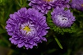 Картинка лепестки, colorful, бутон, астра, цветение, сиреневая, flowers