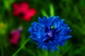 Картинка цветок, синий, лепестки