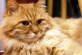 Картинка кот, рыжий, пушистый, взгляд, кошка