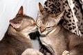 Картинка кошки, фон, окрас, ласки, сепия агути, сингапурские