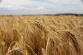 Картинка Пшеница, поле, пасмурно