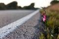 Картинка закат, весна, цветок у дороги, растение, полоса, вечер, цветок