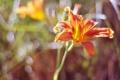 Картинка лилия, цветок, лепестки