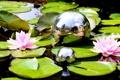 Картинка листья, вода, шары, кувшинки