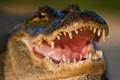 Картинка морда, челюсти, хищник, зубы, крокодил, пасть