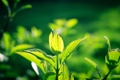Картинка зелень, листья, солнце, растение, листочки