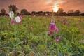 Картинка поле, небо, трава, закат, цветы, луг