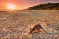 Картинка пляж, закат, кенгуру
