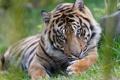 Картинка морда, тигр, хищник, лапы, дикая кошка, умывание