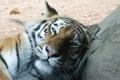 Картинка кот, рыжий, большой, тигр, дремлет