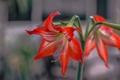 Картинка природа, лилия, лепестки, стебель