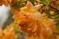 Картинка капли, макро, цветы, оранжевый, лепестки