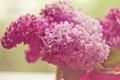 Картинка цветы, розовый, сирень