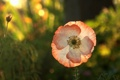 Картинка цветок, солнце, макро, свет, растение, мак, лепестки