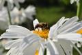 Картинка насекомые, пчела, Цветы, ромашка