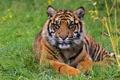 Картинка трава, взгляд, морда, тигр, хищник, суматранский